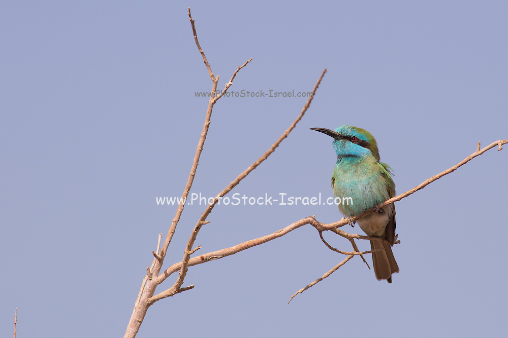 Green Bee-eater (Merops orientalis) on a branch, These birds are widely distributed across sub-Saharan Africa from Senegal and the Gambia to Ethiopia, the Nile valley, western Arabia and Asia through India to Vietnam. Photographed in Israel in December