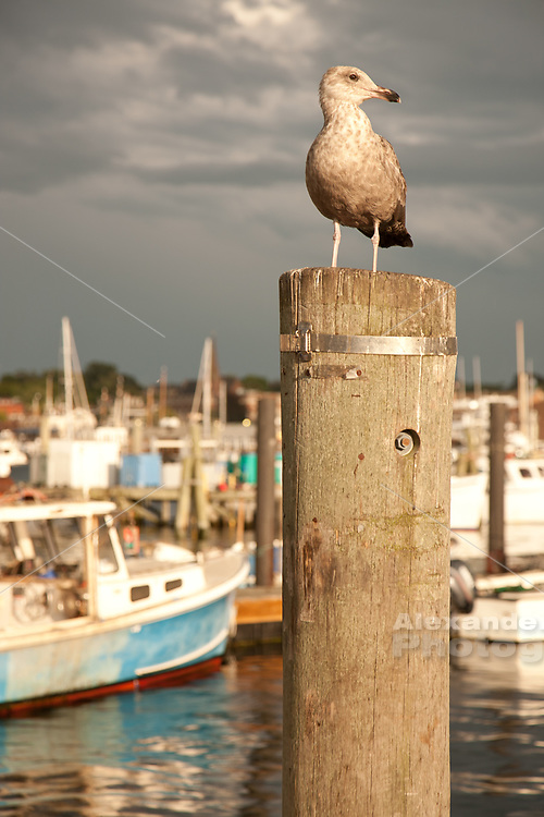 Newport state fishing pier a gull waits on a piling with the fishing fleet in the bachground