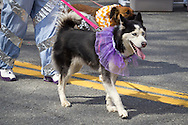 Pine Bush, New York - A dog wearing a tutu walks down Main Street during the parade at the Pine Bush UFO Fair on  on April 26, 2014.