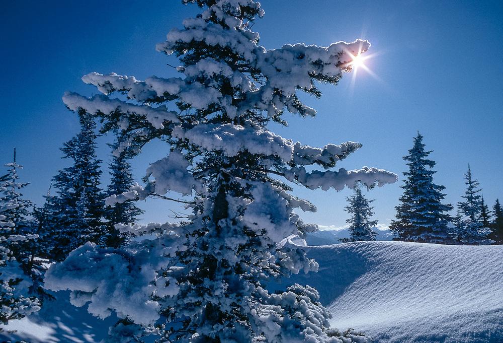 Hurricane Ridge, fir tree sunburst, morning light, December, Olympic National Park, Washington, USA