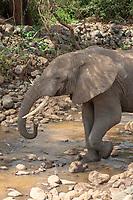 An African Elephant, Loxodonta africana, drinks from a shallow stream in Lake Manyara National Park, Tanzania