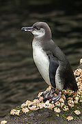 Galapagos penguin (Spheniscus mendiculus) <br /> Isabela Island, Galapagos Islands<br /> ECUADOR.  South America<br /> This is the only penguin to nest entirely within the tropics and in the case of those living on the northern tip of Isabela Island, the only penguins found in the northern hemisphere. They are the third smallest penguin in the world. They live in lava tubes and natural caves and crevices. The females lay one or two eggs and can breed more than once a year if conditions are optimal.<br /> ENDEMIC TO GALAPAGOS ISLANDS