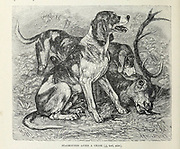 Staghound after a chase From the book ' Royal Natural History ' Volume 1 Section II Edited by  Richard Lydekker, Published in London by Frederick Warne & Co in 1893-1894