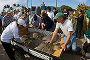 Volunteers and researchers releasing rehabilitated green sea turtles (Chelonia mydas) into the Atlantic in Juno Beach, FL after the endangered reptiles were treated for exposure following record cold temperatures throughout Florida.