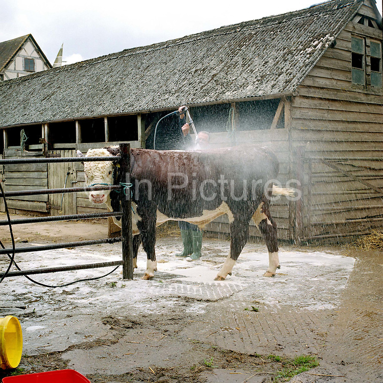 A farmer washes his prize Hereford bull at Free Town (farm), Tarrington, Herefordshire in preparation for the Tenbury Agricultural Show.