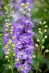 Delphinium F1 Aurora Lavender