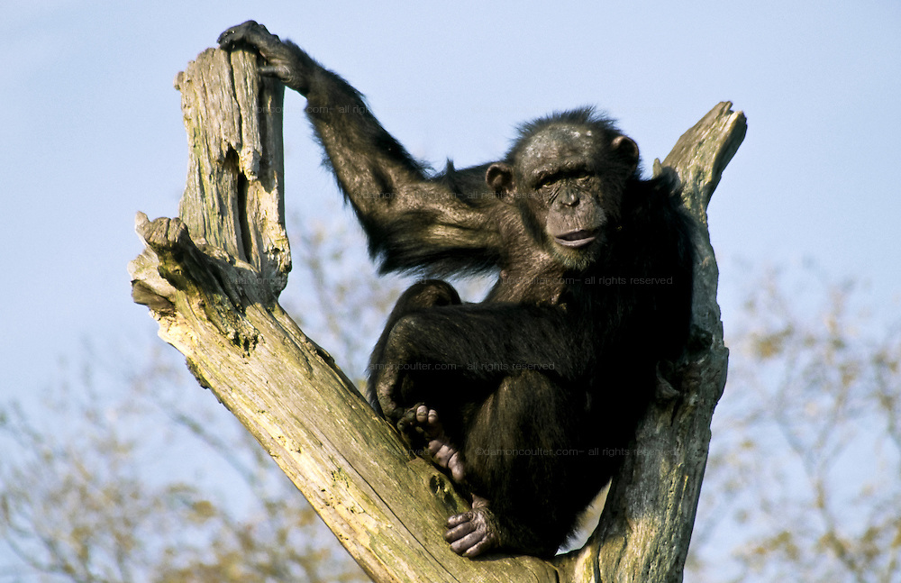 Female chimpanzee sitting in a tree at Chester Zoo, England, UK November 1999