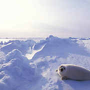 Harp Seal, (Pagophilus groenlandicus) Pup rests on ice pack. Evening. Nova Scotia. Canada. Spring.