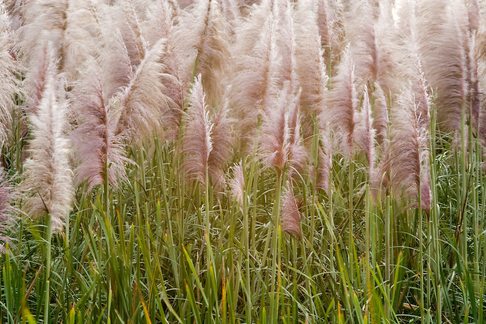 Toi Tois at type of grass reed plant blow in breeze near Helensville, New Zealand. Similar to a pampas grass.
