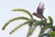 A cedar waxwing (Bombycilla cedrorum) calls from the top of a Sitka spruce tree on Spencer Island in Everett, Washington.