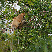 Proboscis Monkey family, Tangjung Puting National Park, Borneo.