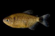 Sao Jose do Rio Preto_SP, Brasil...Program Biota da Unesp, na foto detalhe de um peixe...The Biota program of Unesp, in this photo a fish.. .Foto: JOAO MARCOS ROSA / NITRO