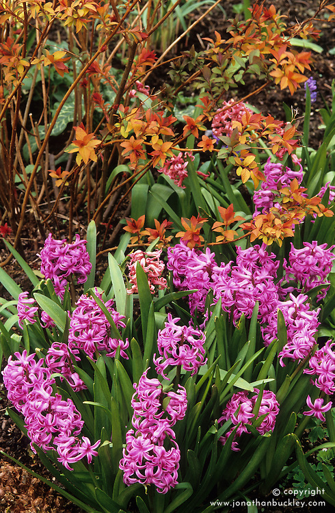 Hyacinthus 'Splendid Cornelia' planted around the base of Spiraea japonica 'Goldflame' with it's young spring foliage colouring