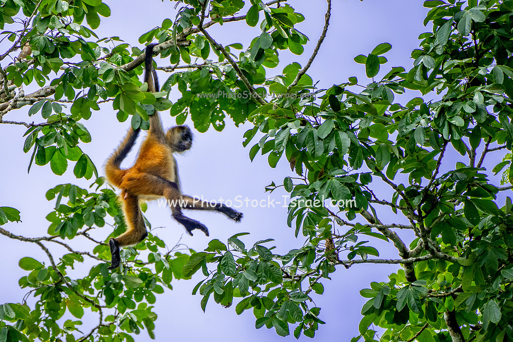 Geoffroy's spider monkey (Ateles geoffroyi) swinging from a brach. Also known as the black-handed spider monkey, is a species of spider monkey, a type of New World monkey, from Central America. Photographed in Costa Rica