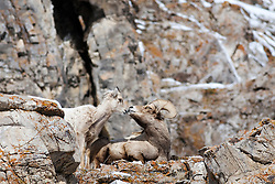 Bighorn Sheep, Jackson Hole. This herd winters on Miller Butte on the National Elk Refuge right outside of the town of Jackson. They are very accessible in winter