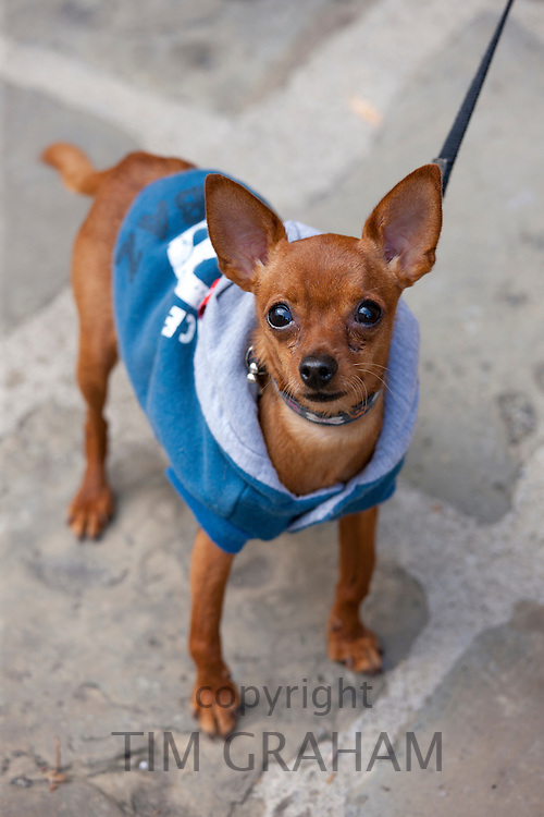 Pinscher dog wearing dog coat in Tuscany, Italy