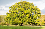 Large spreading single mature English oak tree, Quercus Robur, standing in field Methersgate, Suffolk, England, UK