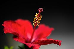 Rosa sinensis, red hibiscus#2