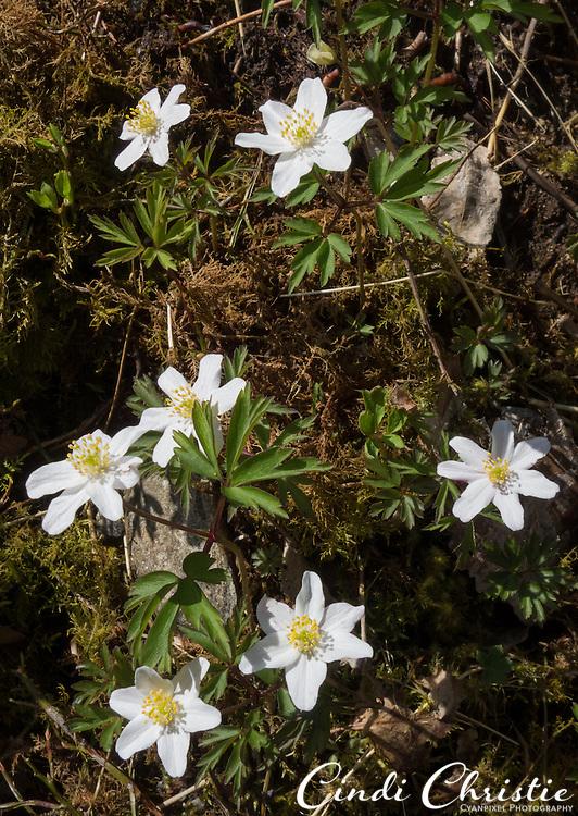 Hvitveis spring wildflowers grow in abundance near Sandane, Norway, on May 19, 2013.  (© 2013 Cindi Christie)