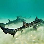 Leopard sharks (Triakis semifasciata); gregarious species; feeds on small fish, crustaceans, and other marine invertebrates; La Jolla, CA USA