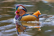 A male mandarin duck (Aix galericulata) swims on Lake Washington in Kirkland, Washington, several thousand miles from its native range in east Asia. While the mandarin duck is native to Japan, southeast Russia and eastern China, it has been exported to the United Kingdom and North America, where it has occasionally escaped captivity and established feral populations. It is closely related to the North American wood duck.