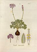 Woodsorrel (Oxalis truncatula). Illustration from 'Oxalis Monographia iconibus illustrata' by Nikolaus Joseph Jacquin (1797-1798). published 1794