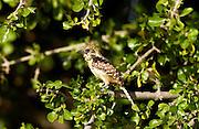Usambiro Barbet, Grumet, Tanzania, East Africa
