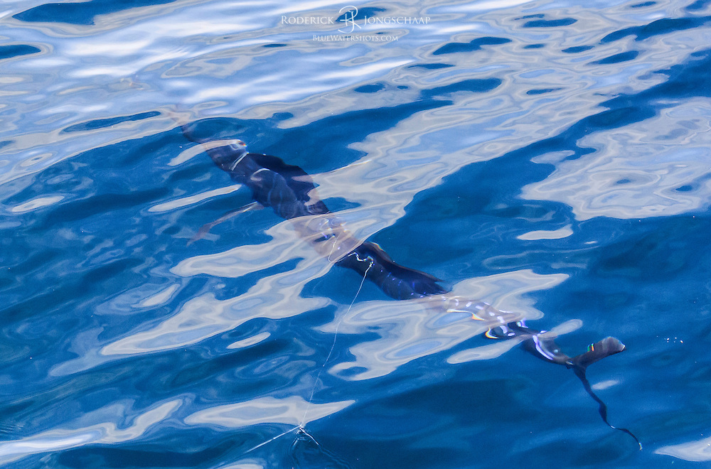 Atlantic Sailfish swimming underwater offshore Lobito, Angola.