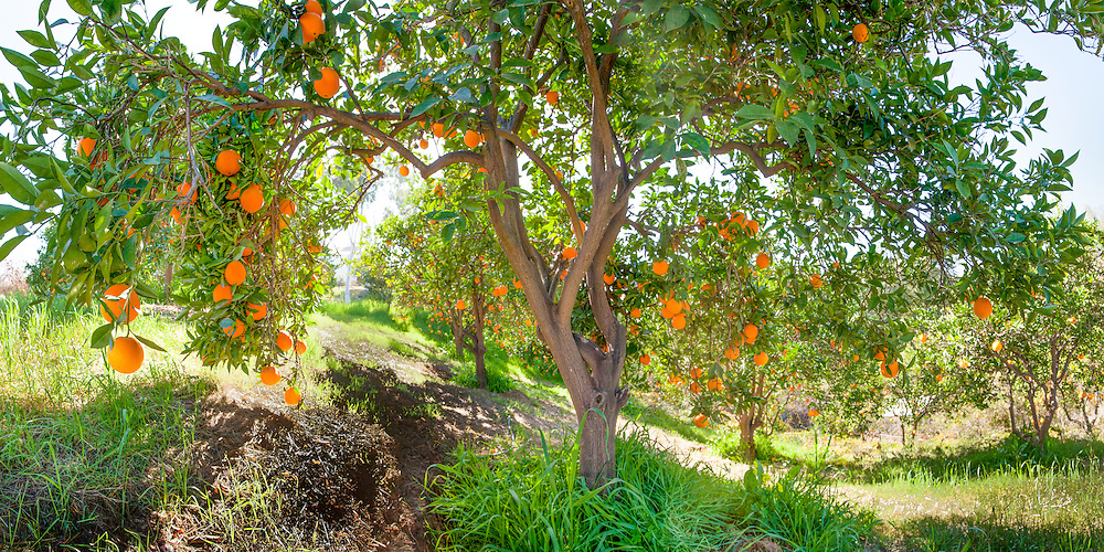 Art panorama of an orange grove in California's Inland Empire. Super hi-res for wall mural installations. Super hi-res for panoramic wall mural installations up to 30 ft.