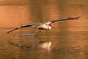Brown Pelican in full breeding colors takes off at sunrise, (Pelecanus occidentalis), Back Bay Reserve,California