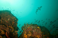 """A rocky seamount rising toward the surface with circling fish and rich coral and sponge growth.<br /><br />Coiba Island, <br />Coiba National Park, Panama<br />Tropical Eastern Pacific Ocean<br /><br />""""Siren's Point"""" dive site"""