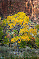 A briliant golden cottonwood tree shines in Zion Canyon.