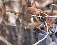 Carolina Wren (Thryothorus ludovicianus). Image taken with a Nikon D5 camera and 600 mm f/4 VR lens.