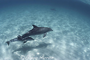 bottlenose dolphins, Tursiops truncatus, mother and calf, Abaco Islands, Bahamas ( Western Atlantic Ocean )