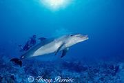 Spot, a wild, lone, sociable bottlenose dolphin, Tursiops truncatus, regurgitates indigestible parts of food items, Cayman Brac ( Caribbean Sea ) MR 281