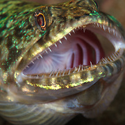 Lizardfish holding its mouth open and gills flared to be cleaned by a cleaner wrasse