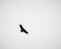 Andean Condor soaring. Image taken with a Fuji X-T1 camera and 55-200 mm lens (ISO 200, 200 mm, f/4.8, 1/180 sec).