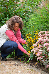Digging up a perennial - rudbeckia - and replanting in a border