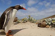 Als kräftiger Räuber und Aasfresser zugleich profitiert die Subantarktikskua (Catharacta antarctica) von der Nähe der Pinguinkolonien. Dort erbeutet sie oft Küken, um ihren eigenen Nachwuchs zu ernähren. | Being a strong predator and a scavenger all the same the Brown Skua (Catharacta antarctica) takes advantage of the penguin colonies near by to find food for its own chick.