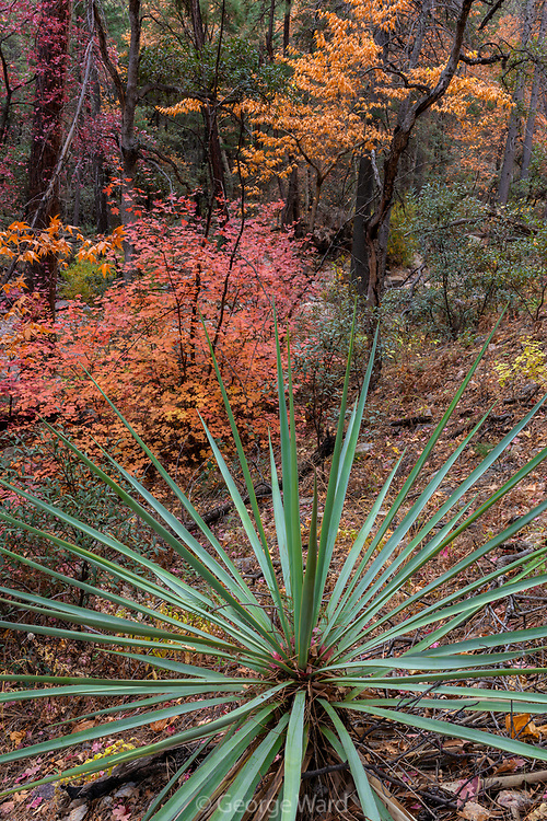 Mountain Yucca with Bigtooth Maple and Arizona Sycamore, Cave Creek Canyon, Chiricahua Wilderness, Coronado National Forest, Cochise County, Arizona