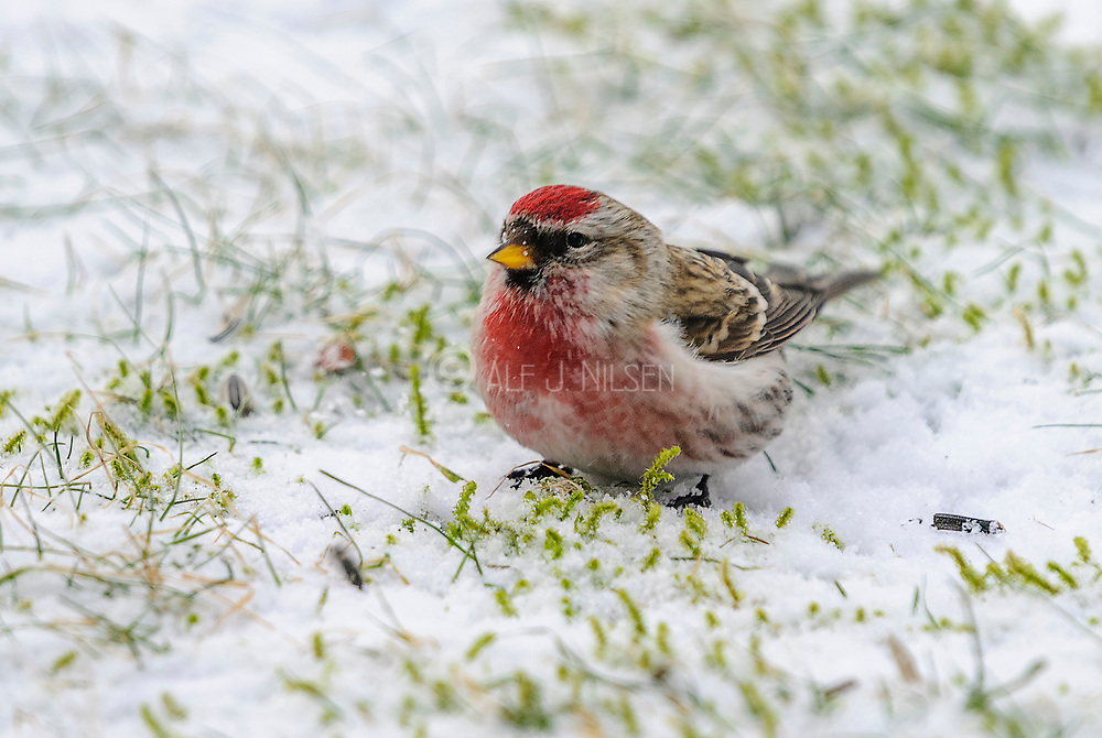 Common Redpoll (Carduelis flammea, male ) from South-western Norway.