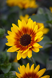 Helianthus Sunbelievable 'Brown Eyed Girl'