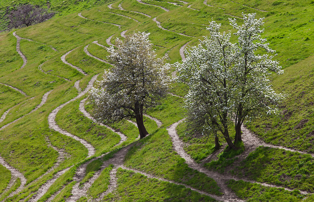 Limited Edition Prints of 17<br /> Flowering fruit trees on green hillside with may cattle trails following the contours of the land