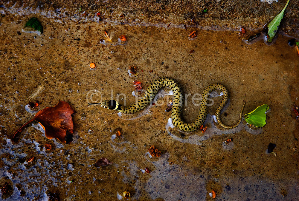 Yellow and black-dotted grass snake in water culvert, 16th April 2007, Lagrasse, France.