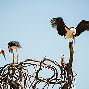Marabou storks on top of a tree at Tarangire National Park in northern Tanzania not far from Ngorongoro Crater and the Serengeti.