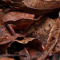 Sticky frog (Kalophrynus meizon). Sarawak, Malaysia (Borneo).