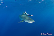 Stefanie Brendle photographs tiger shark, Galeocerdo cuvier, North Shore, Oahu, Hawaii, USA ( Central Pacific Ocean ) MR 389
