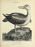Diomedia The Albatross Copperplate engraving From the Encyclopaedia Londinensis or, Universal dictionary of arts, sciences, and literature; Volume V;  Edited by Wilkes, John. Published in London in 1810