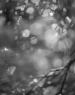 Tree branches refracted in dew drops. A picture from Whitmoor Common near Guildford, Surrey. Photography by Andrew Tobin/Tobinators Ltd