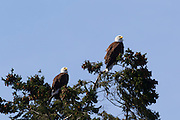 Two adult bald eagles (Haliaeetus leucocephalus) rest together in the top of a tree in Heritage Park, Kirkland, Washington.